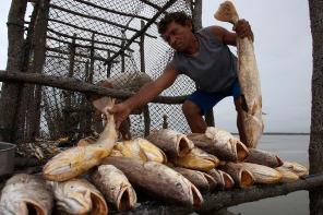 Pescadores retiram peixes da armadilha conhecida como curral durante a maré vazanteno litoral do Pará, na foz do rio Amazonas. Os pescadores chegam a capturar cerca de 200 quilos de pescado por dia entre: piramutabas, sardinhas, filhotes, pescada amarela, robalo e tainhas. Curuçá·, Pará, Brasil. Foto: Paulo Santos